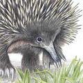 Echidna greeting card. Australian wildlife art cute unique animal