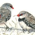 Diamond Firetail greeting card Australian finch bird wildlife art, red and spots