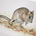 Woylie greeting card, Brush-tailed Bettong, Australian wildlife art
