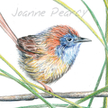 Mallee Emu-wren greeting card, Australian bird, small cute, wildlife art