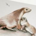 Australian Sea Lion greeting card, Mum & baby on sandy rock beach,  wildlife art