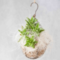 Kokedama Moss Ball with Succulent Plants, Table Decoration, Green Hanging