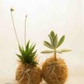 "Coconut Fiber Covered Kokedama ""Coco-Dama"", Live Plant Table Decoration"