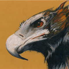 Hand Drawn Coloured Pencil Art Print on Fabric (Australian Wedge-tailed Eagle 1)