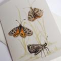 Golden Sun Moth greeting card Australian wildlife art, butterfly, insect