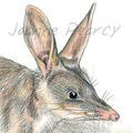 Bilby greeting card portrait Australian wildlife cute animal desert
