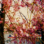 Pack of 5 Cherry Blossom postcards.