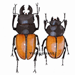 Beetle pair. Framed. Stag Beetle