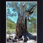 'Ormiston Gorge Tree' Mounted Australian Landscape Photography