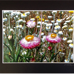 'Wildflowers, SA' Mounted Australian Landscape Photography