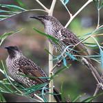 bush wattle bird