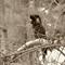 Photography, Digital, Black Cockatoo, Nature, Australian Fauna.