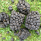 ALPACA POOP - MANURE - great for the garden - COLLECTION ONLY!