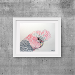 "Galah, Print, 8' x 10"" Coloured Pencil, Australian Birds,"
