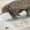 Echidna Tea Towel, Australian wildlife illustration, Short-beaked Echidna ants