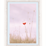Red Poppy, pink background tones, Wall print, photography,