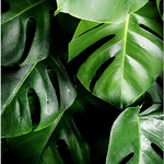 Green leaves, wall art, Flora, leaf, wall print