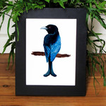 Spangled Drongo bird print of watercolour painting A4