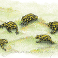 Southern Corroboree Frogs -  Australian wildlife art greeting card
