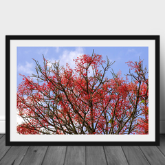 Illawarra Flame Tree High Resolution Photographic Print