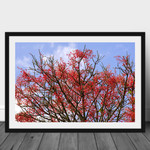 Illawarra Flame Tree High Resolution Photographic Print