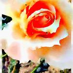 Watercolor Print - Peach Rose - Floral