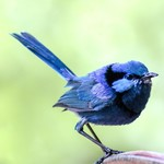 1790 Splendid Blue Fairy Wren Greeting Card