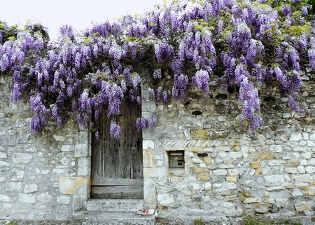 1607 Wisteria over old Wall France Greeting Card