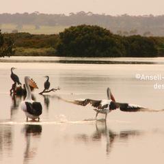 Pelicans, Barwon Heads river
