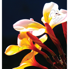 White and yellow Frangipani flower greeting card. Silhouetted against sunlight