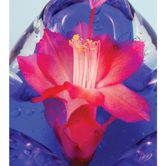 Greeting card red flowering Zygocactus variety Ascot on blue glass
