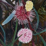 Hakea Laurina Flower Medium Print