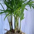 Kokedama - Parlour Palm (Plant 15)