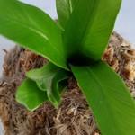 Kokedama - Fern (Plant 07)