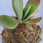 Kokedama - Flapjack Succulent (Plant 10)