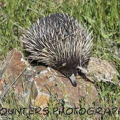 Snoozing Echidna (A4)