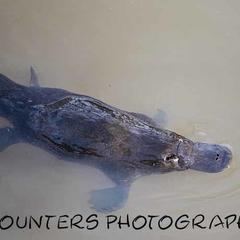 Playful Platypus (A4)