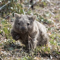 Waving Wombat (A4)