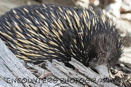 Young Echidna (A4)