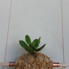 Hanging Kokedama - Succulent (Plant 29)