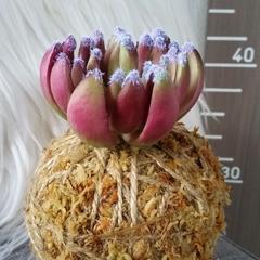 Artificial Kokedama - Petite Succulent (Wine)
