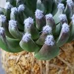 Artificial Kokedama - Petite Succulent (Dark Green)