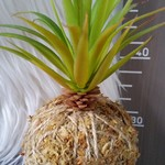Artificial Kokedama - Cluster Succulent (Green)