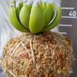 Artificial Kokedama - Petite Succulent (Green)