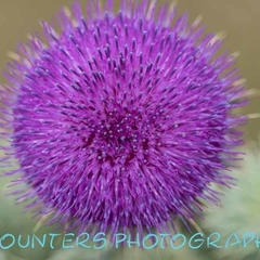 Thistle Flower in Orroral Valley, ACT  (A2)