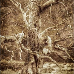 Tolkien Tree, Orroral Valley, ACT  (A2)