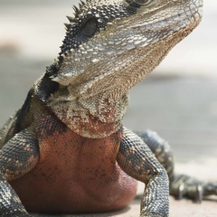 Water Monitor, Darling Harbour, Sydney  (A3)