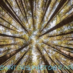 Sugar Pine Forest Canopy, NSW  (A2)