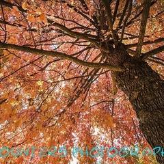 Autumn Canopy, Albury Botanic Gardens, NSW  (A3)