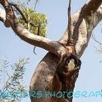 Cockatoo at Home, Namadgi National Park, ACT  (A3)
